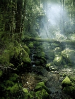 Bush;Beech_Forest;creek;misty_light;moss;lichen