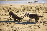 Dogs_playing;Nelson;Tasman_Bay;Tahunanui_Beach;sandy_beaches;beach;beach_front;b