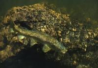 Brown_trout;Bush;creek;Buller_Region;lichen;moss;flowing_water;stream;Maruia_Riv
