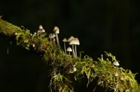 possibly_Psilocybe_cubensis;Buller_Region;lichen;moss;